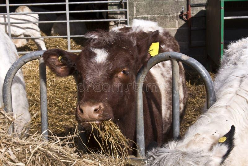 brązowy krów karmienia obrazy royalty free