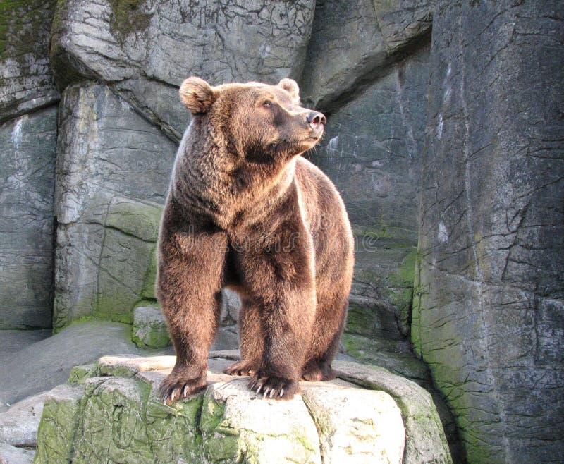 brązowy niedźwiedź zdjęcie royalty free