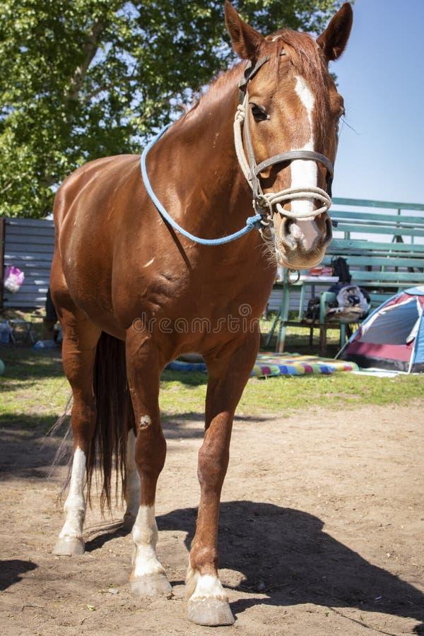 brązu azjatykci koń z uzdą bez comberu i obrazy royalty free