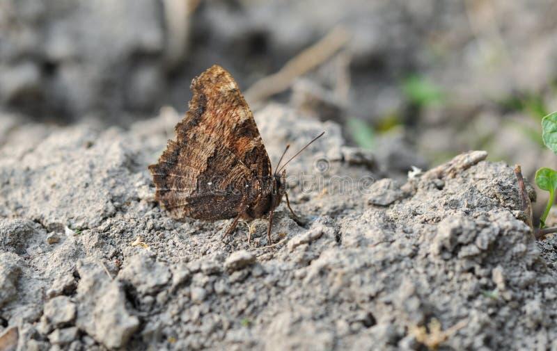 Brązu motyla stojaki na kamieniu zdjęcia royalty free