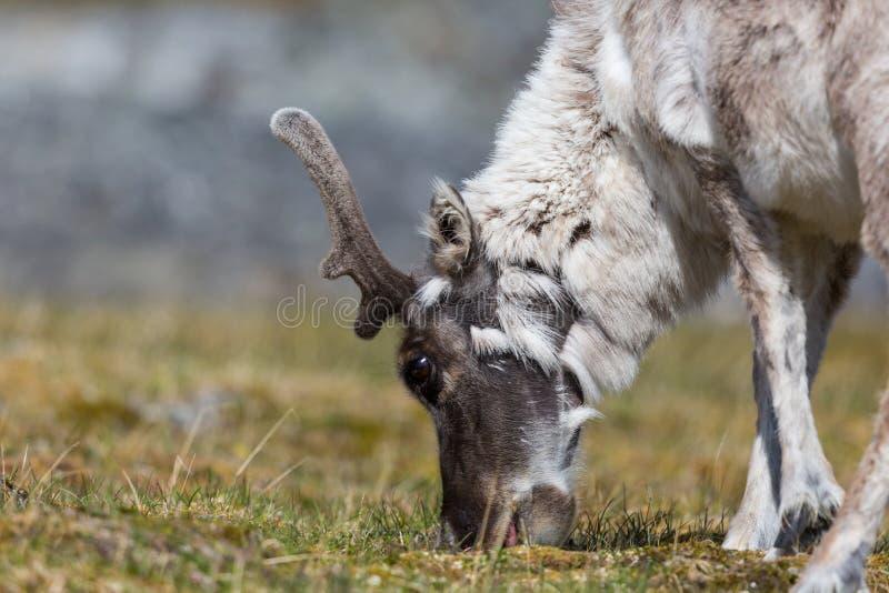 Br de platyrhynchus de tarandus de rangifer de renne du Svalbard de vue de côté photo libre de droits