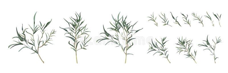 Br natural de diverso follaje del arte del diseñador del sauce del eucalipto stock de ilustración