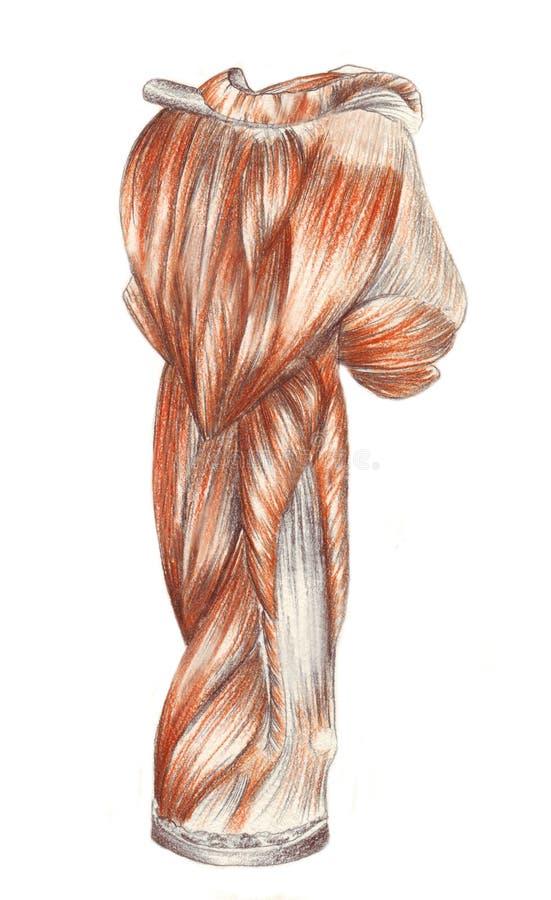 Braço direito - músculos ilustração royalty free