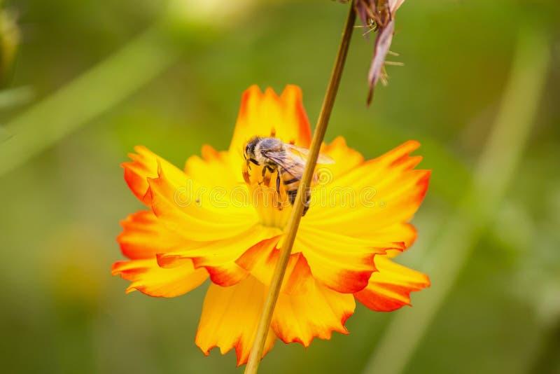 brać nektar obraz royalty free