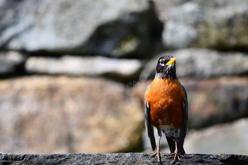 Brać obrazka ptaka i zamazanego tła w Arnold arboretum jawnym parku w Boston zdjęcie stock