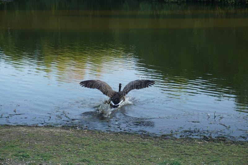 Brać skok do wody w chłodno spokój wody zdjęcia stock