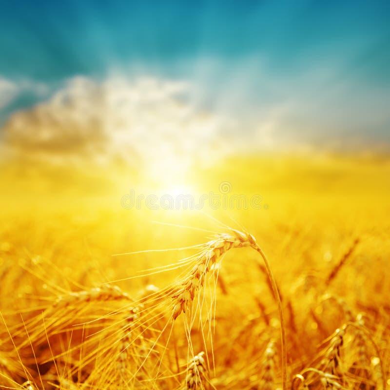 Bra solnedgång över guld- fält med skörden royaltyfria foton