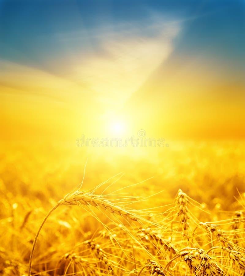 Bra solnedgång över guld- skörd arkivbilder