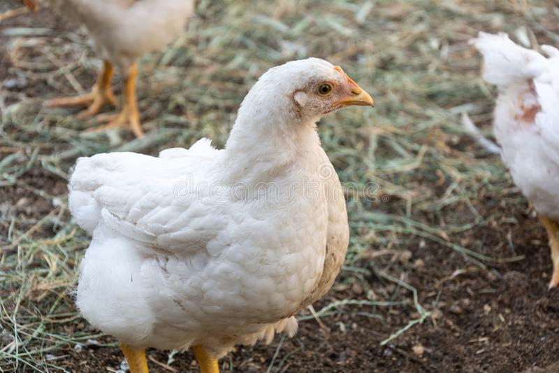 Braadkippen op een landelijk gevogeltelandbouwbedrijf royalty-vrije stock foto's