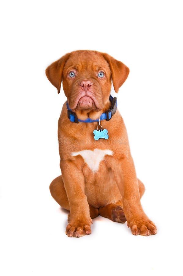 Braaf Puppy stock afbeelding