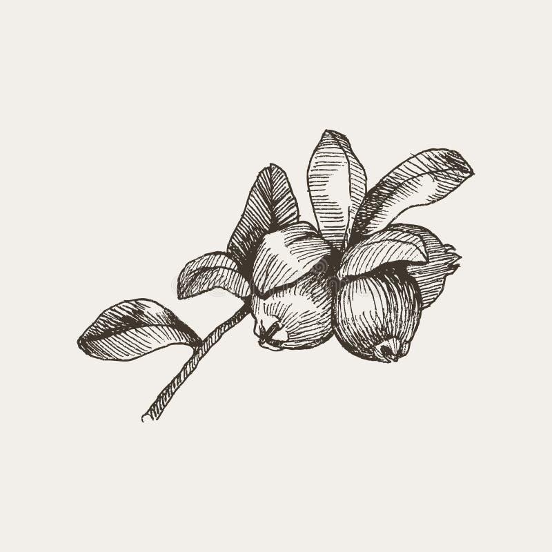 braambes Uitstekende hand getrokken illustratie van braambessen en bladeren Vector bloemen grafische geïsoleerde elementen stock illustratie
