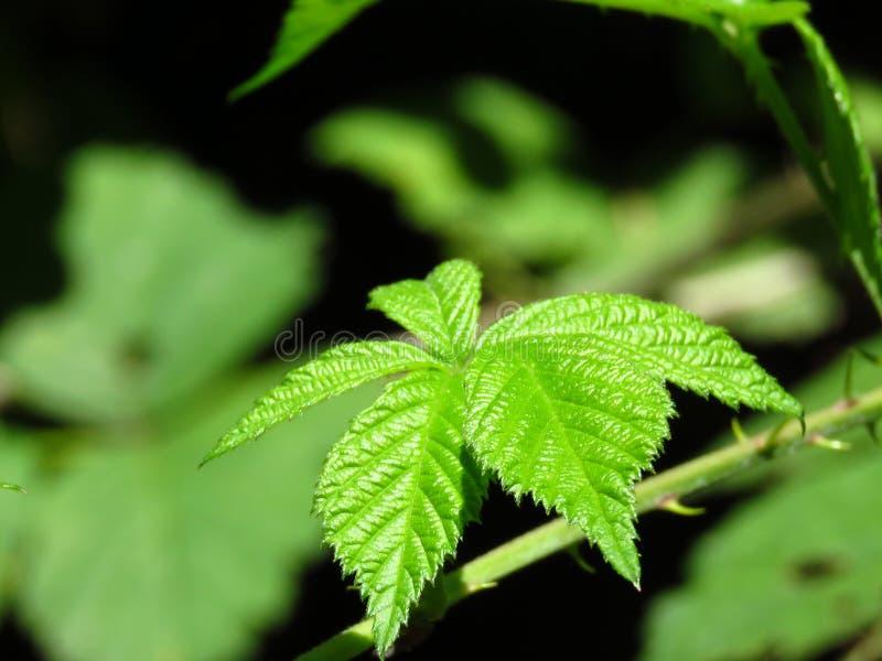 Braambessen trillende groene bladeren Groene de struikbladeren van de bergstruik royalty-vrije stock afbeeldingen
