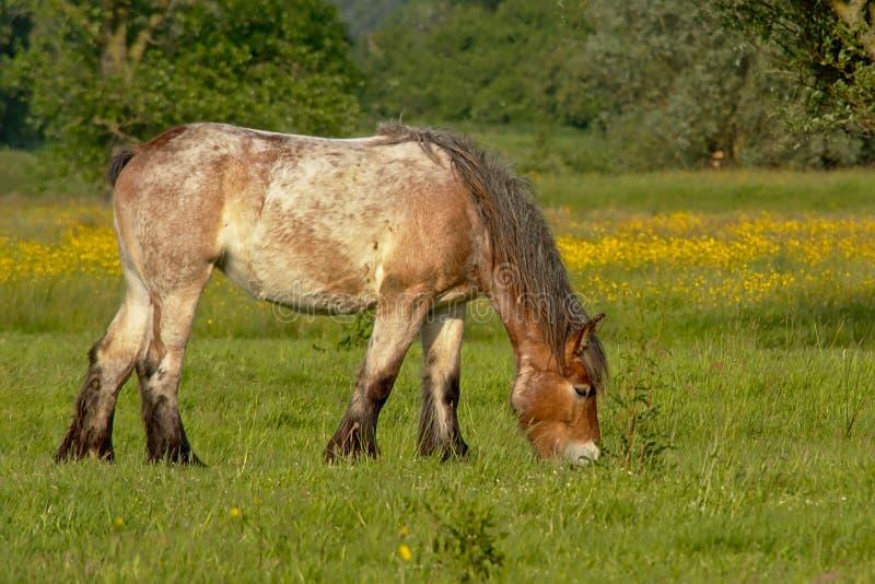 Brabantian-Pferd, das in einer Wiese mit Gelb weiden lässt, senkt und Bäume hinten stockfotos