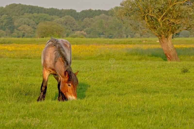Brabantian-Pferd, das in einer Wiese mit gelben Wildflowers und Bäumen weiden lässt stockfotos