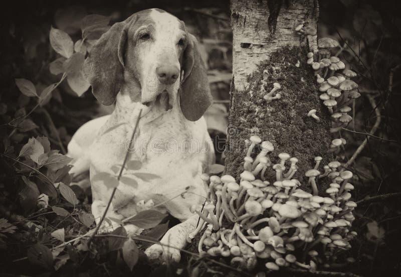 Bracco Italiano in foresta fotografia stock