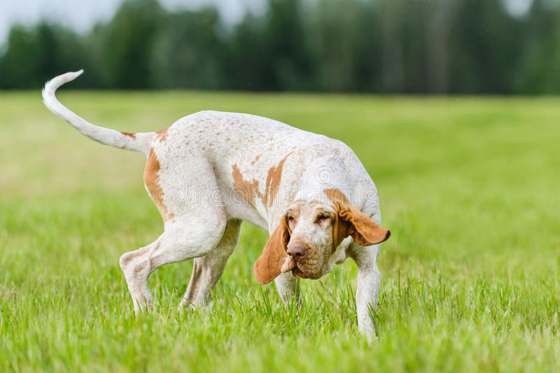 Bracco Italiano hunting dog running in the field. Italian Pointer hunting dog running in the field hunting for wildfowl stock photos