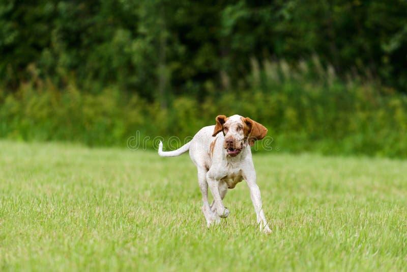 Bracco Italiano hunting dog running in the field. Italian Pointer hunting dog running in the field hunting for wildfowl stock image