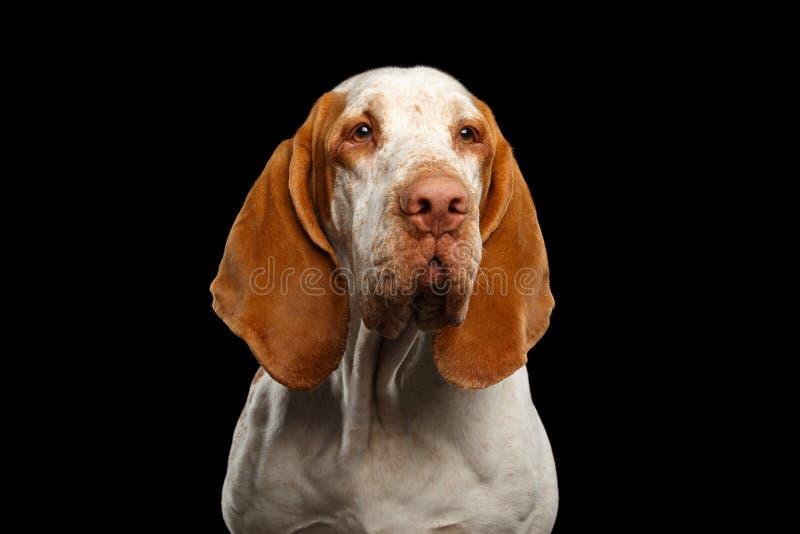Bracco Italiano Pointer Dog on Black Background obraz royalty free
