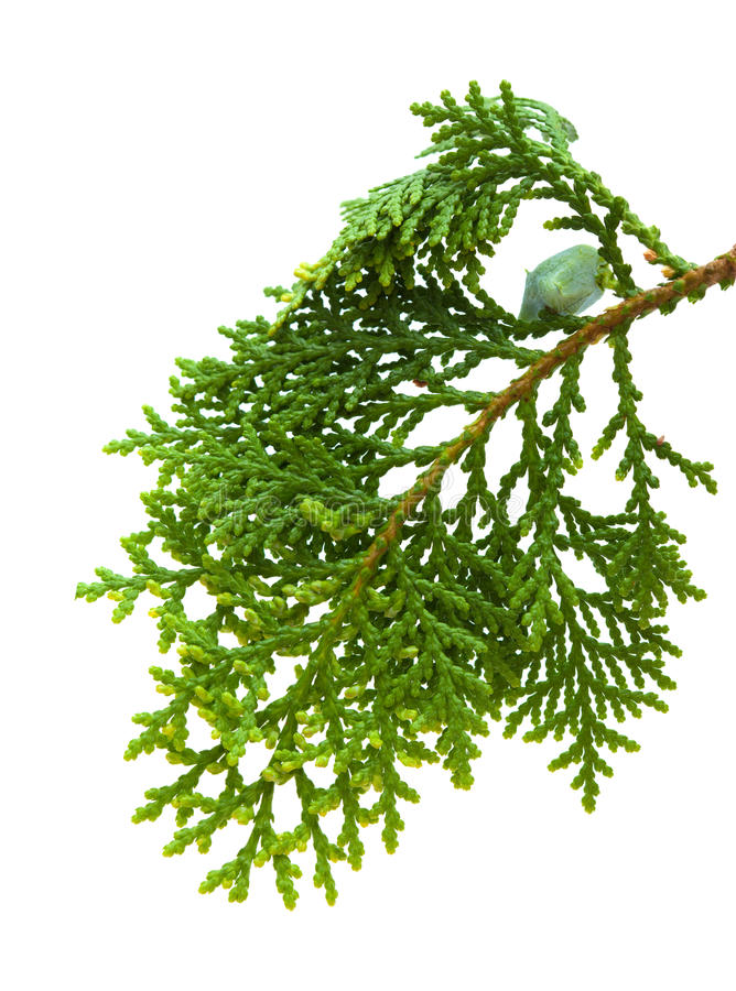 Free Brach Of Thuja Royalty Free Stock Photography - 42573397