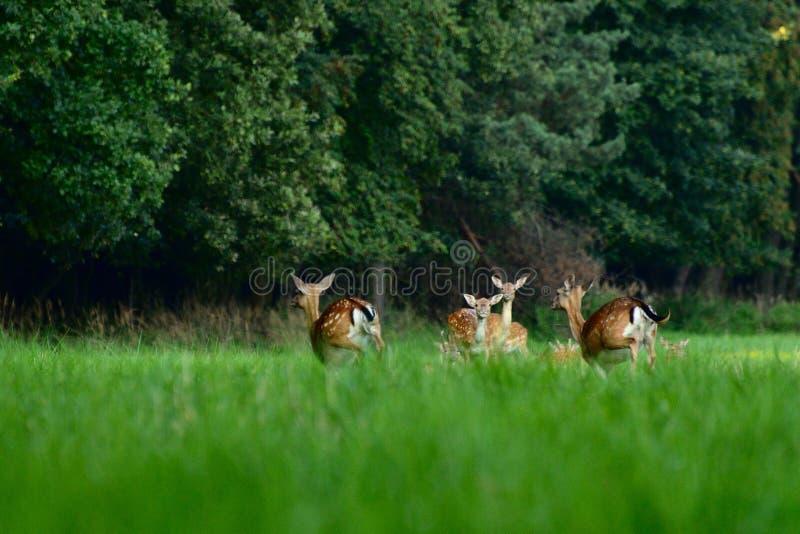 Bracherotwild, die in den Wald laufen stockfoto