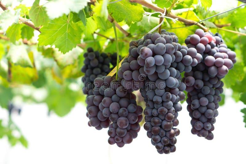 Braches de las uvas de vino tinto del primer en viñedo con la luz excesiva, sel fotografía de archivo