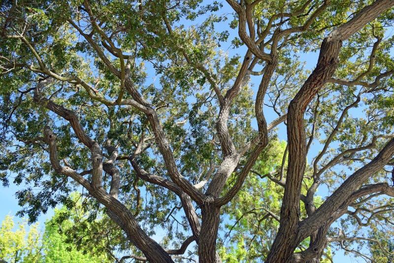 Braches y hojas del árbol que empapan para arriba la luz del sol en el bosque de Laguna, Caliornia fotografía de archivo libre de regalías