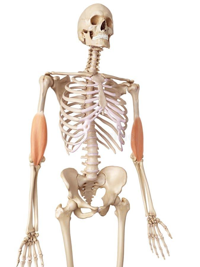 The brachialis stock illustration. Illustration of skeleton - 56285850