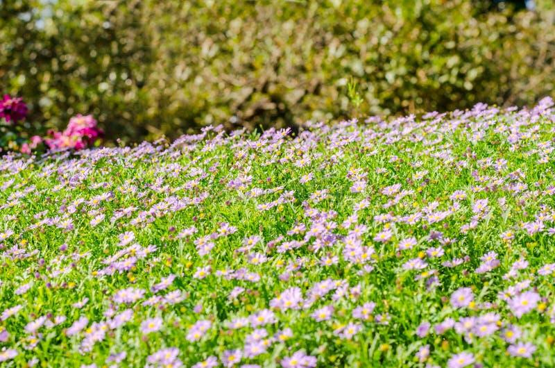 Brachycomeblumengruppe und Hintergrund des grünen Grases stockfotografie