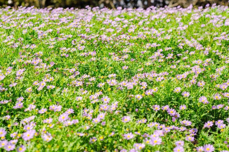Brachycomeblumengruppe und Hintergrund des grünen Grases lizenzfreie stockfotografie