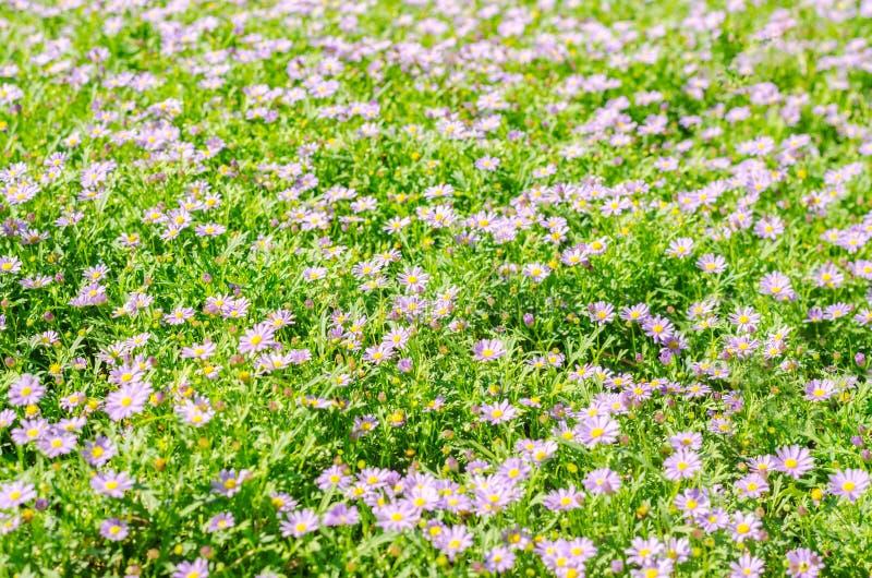 Brachycomeblumengruppe und Hintergrund des grünen Grases stockbilder