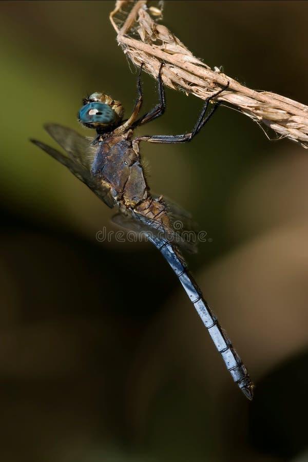 Brachytron blu selvaggio della libellula immagine stock libera da diritti