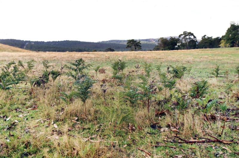 Download Bracken Fern stock photo. Image of tasmania, perennial - 29215444