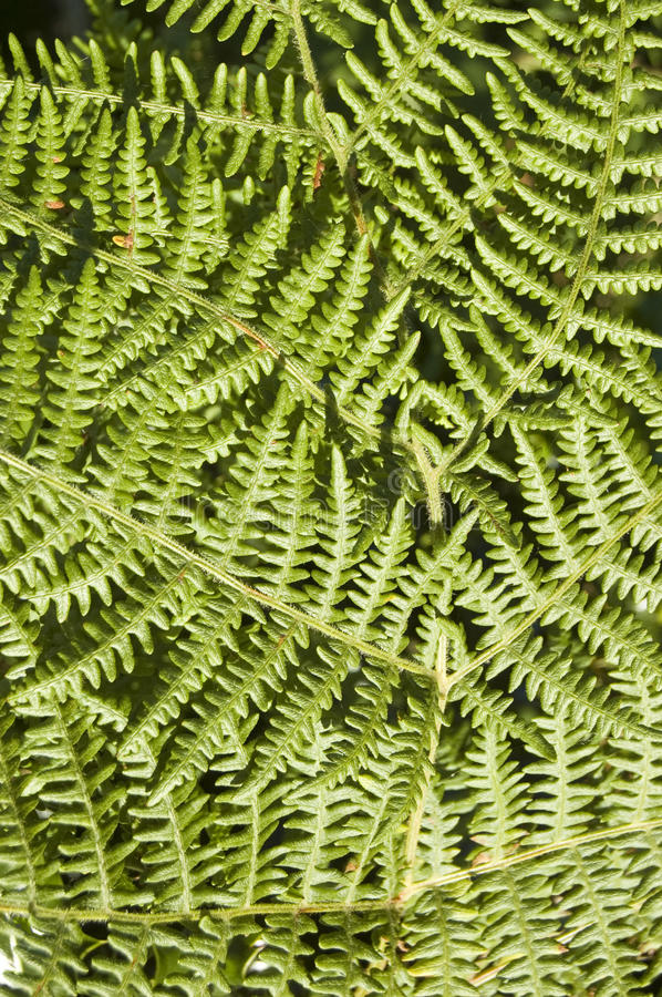 Download Bracken Fern Background Royalty Free Stock Image - Image: 27130136