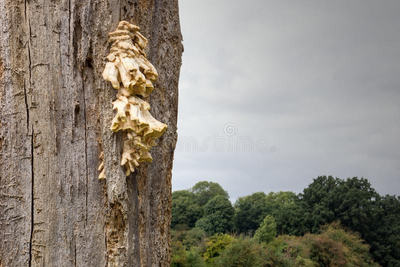 Bracket fungi growing on a dead tree royalty free stock images