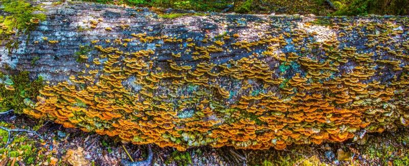 Bracket Fungi. Panoramic Composition of Bracket Fungi On Dead Tree Trunk, Flordland National Park, South Island, New Zealand royalty free stock images