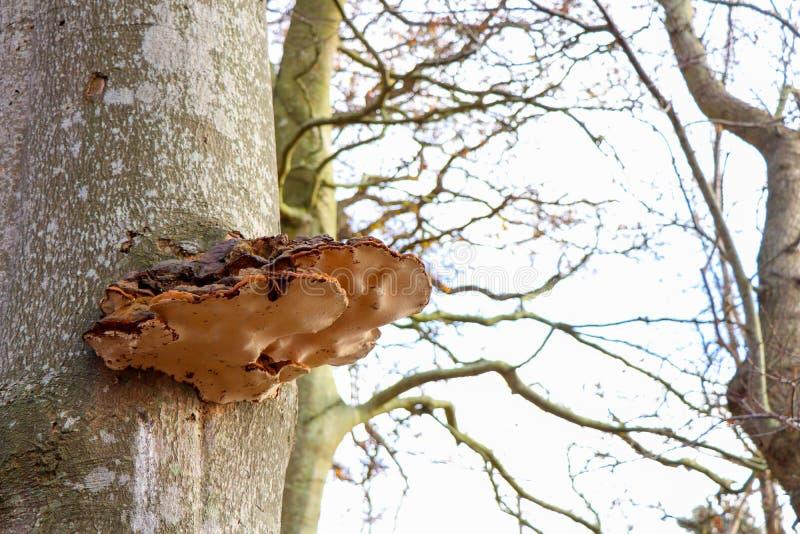 Bracket Fungi on Tree Trunk. In Autumn stock photos