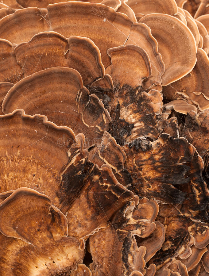 Free Bracket-fungus Mushrooms Background Stock Photography - 44469542