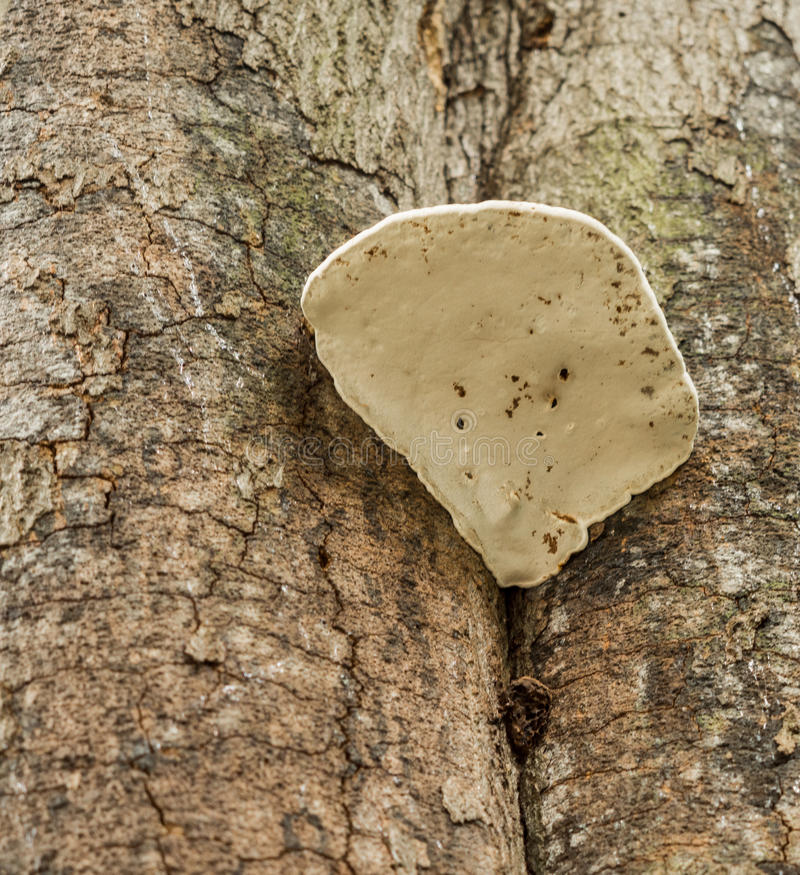 Bracket fungus. On old tree at Styal Village woods, Styal, Cheshire, UK stock images