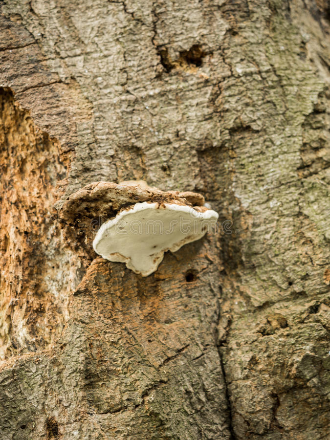 Bracket fungus. On old tree at Styal Village woods, Styal, Cheshire, UK stock photo