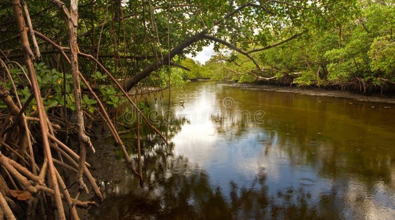 Brackish заводь и мангровы в Флориде стоковые фотографии rf