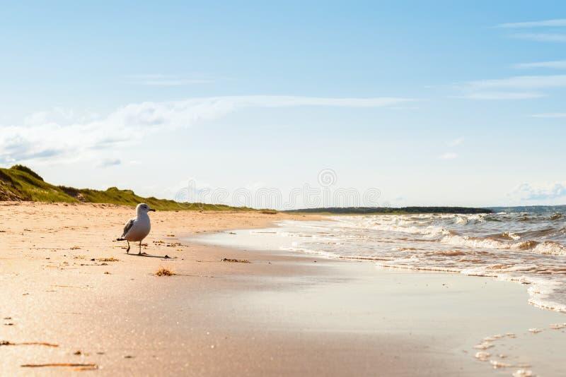 Brackleystrand in Prins Edward Island National Park stock foto's