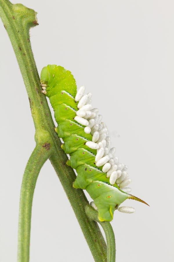 Braconid在幼虫的黄蜂coccons 库存图片