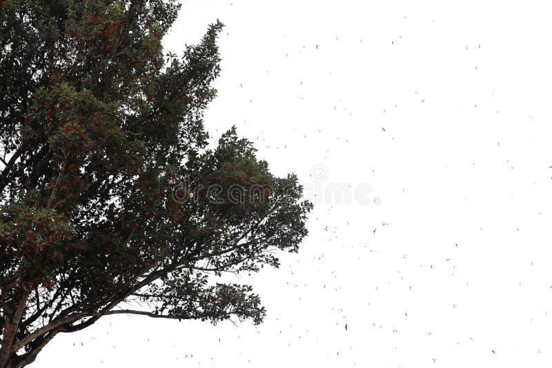 bradend zaad van Dipterocarpus tuberculatusRoxb, zwart-witte boom royalty-vrije stock foto