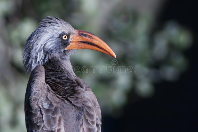 Bradfield's Hornbill royalty free stock photos