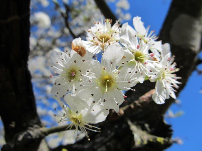 Bradford Pear Bloom contre un ciel bleu photographie stock libre de droits