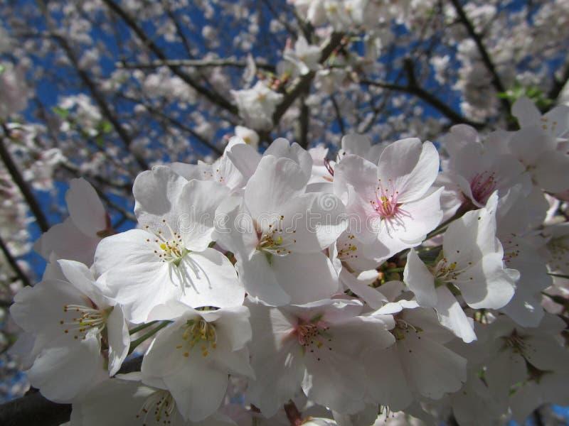 Bradford Pear Blossoms au soleil photographie stock libre de droits