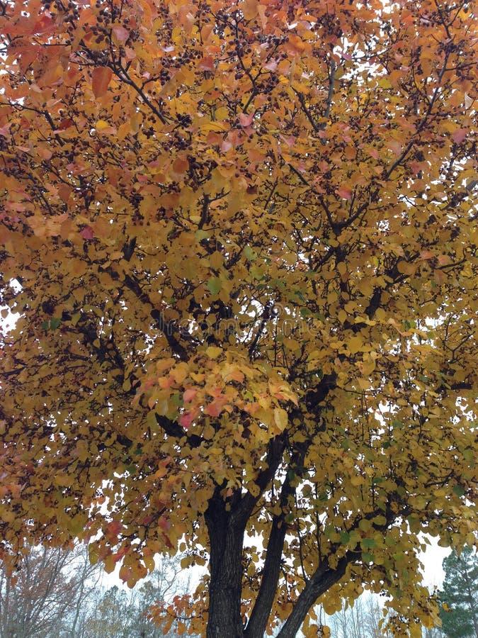 Bradford Pear dans l'automne images libres de droits