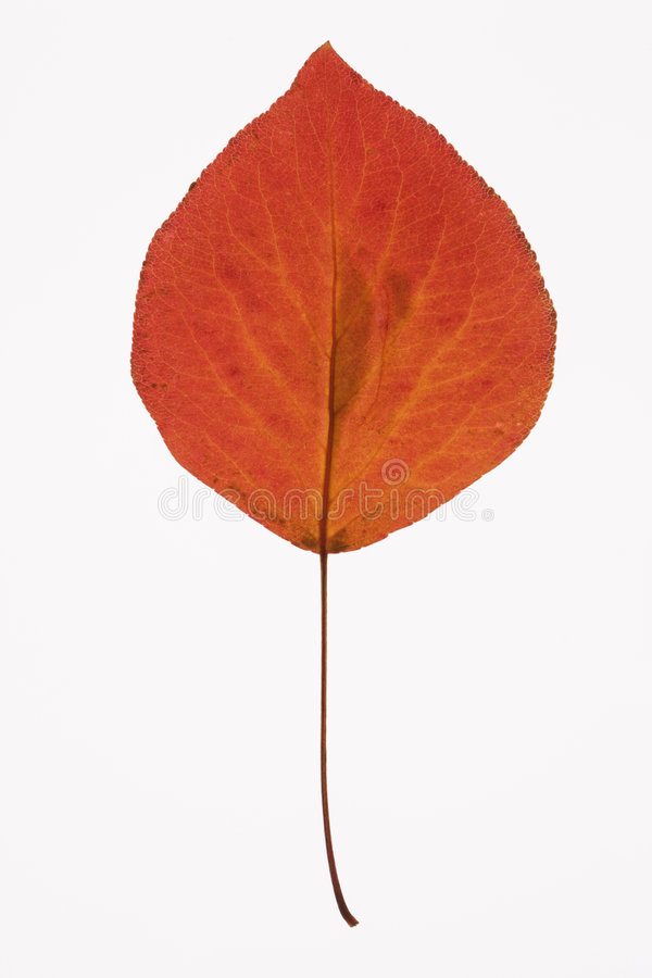 Bradford Pear leaf on white. stock photo
