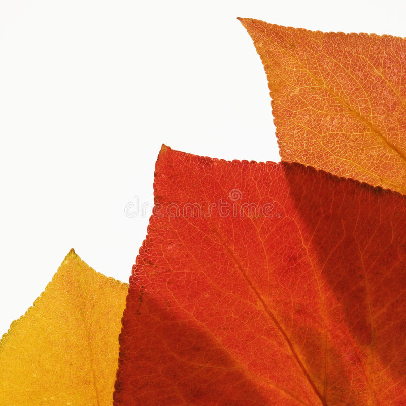Bradford Pear leaves on white. stock photography