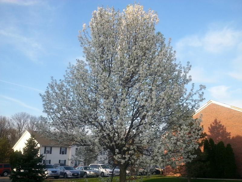 Bradford Pear Tree photographie stock libre de droits